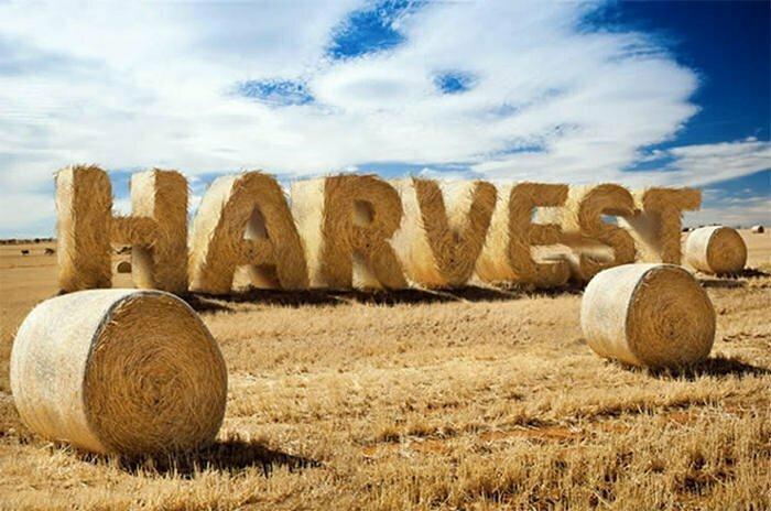 mùa gặt
